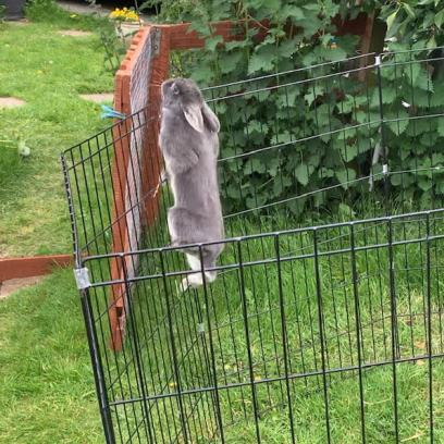 Climbing rabbit